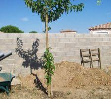 Murier platane planté en automne 2011