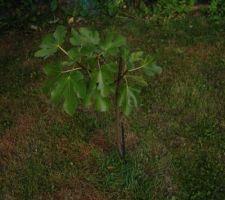 plantation d un figuer