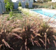 premier plan pennisetum rubrum l herbe aux ecouvillons