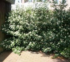prunus laurocerasus herbergii