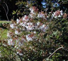 abelia grandiflora 2