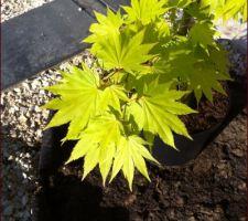 """Erable du Japon Acer shirasawanum """"Jordan"""""""