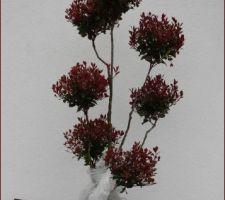 Photinia sur tige, taillé en nuage