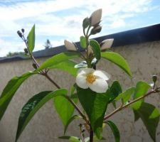 Première fleur de seringat, 8 mai