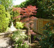 Dernière acquisition : érable du japon (acer palmatum)
