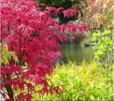 Idée déco jardin : érable à feuilles rose
