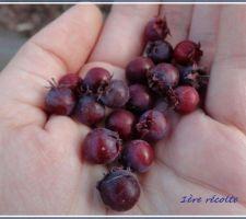 1ère récolte de baies d'amélanchier