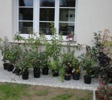 Et encore des arbustes pour la haie..., y'a plus beaucoup de place sur le trottoir de la maison : fusain d'europe, photinias, philadelphus,cotinus pourpre, cornouillers, troenes, lauriers sauces, eleagnus limelight, viornes,...