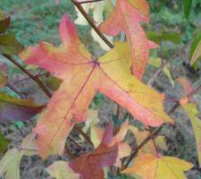 Plantation d\'un jeune liquidambar, détail des feuilles