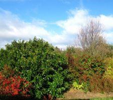 Belles couleurs d'automne...  Au premier plan en rouge : Nandina Domestica. La grosse boule verte brillante : laurier du Portugal. A côté, très discret : abelia. Et avec ses baies rouges, le cotonéaster lactéus.