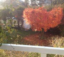 Erable du Japon couleurs d'automne