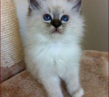 I LOVE YOU chaton sacré de Birmanie né à la maison en 2013.