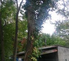 voilà le seul arbre que nous avons gardé , le deuxième en arrière plan est chez le voisin..