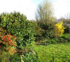 La même vue, mais au printemps. Le nandina, toujours avec ses baies et en jaune le forsythia, avec quelques tulipes et narcisses... vive le printemps !