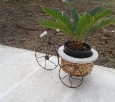 Petit palmier que je vais mettre en terre aprés les sainte glace
